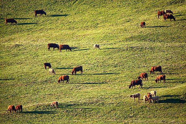 Vaches salers en paturage près de Superbesse©C.Crié/ccas