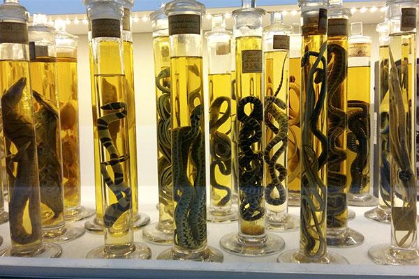 Reptiles en alcool, Musée des Confluences, Lyon © Tiffany Princep / CCAS